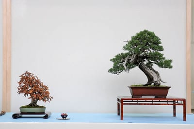 Japanese beech and California juniper