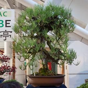 Cork bark pine