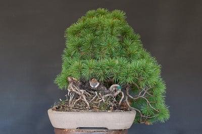 White pine - before