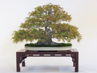 Japanese maple - seigen