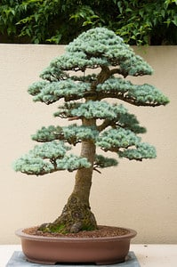 Blue Atlas Cedar