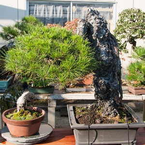 Root over rock pine