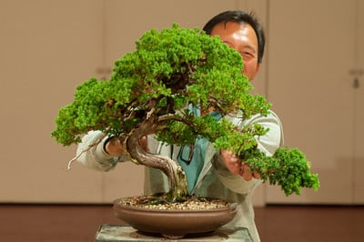 Future of a procumbens juniper