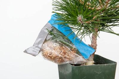 Corkbark pine graft