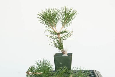 Grafted black pine