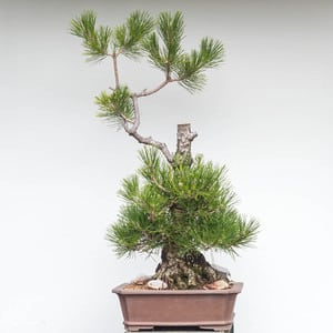 Black pine - before decandling