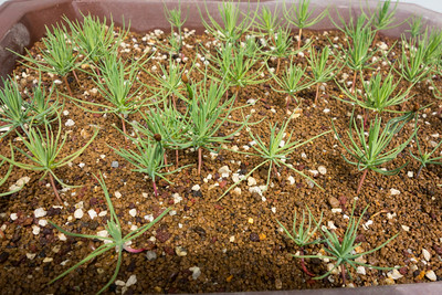 Pine seedlings