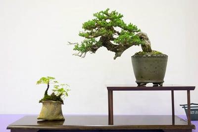 Procumbens juniper