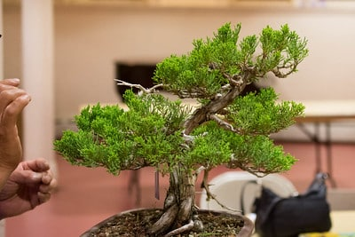 Juniper from the side