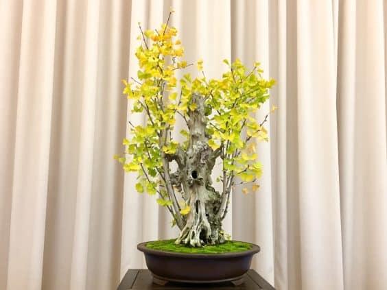 ginkgo-bonsai