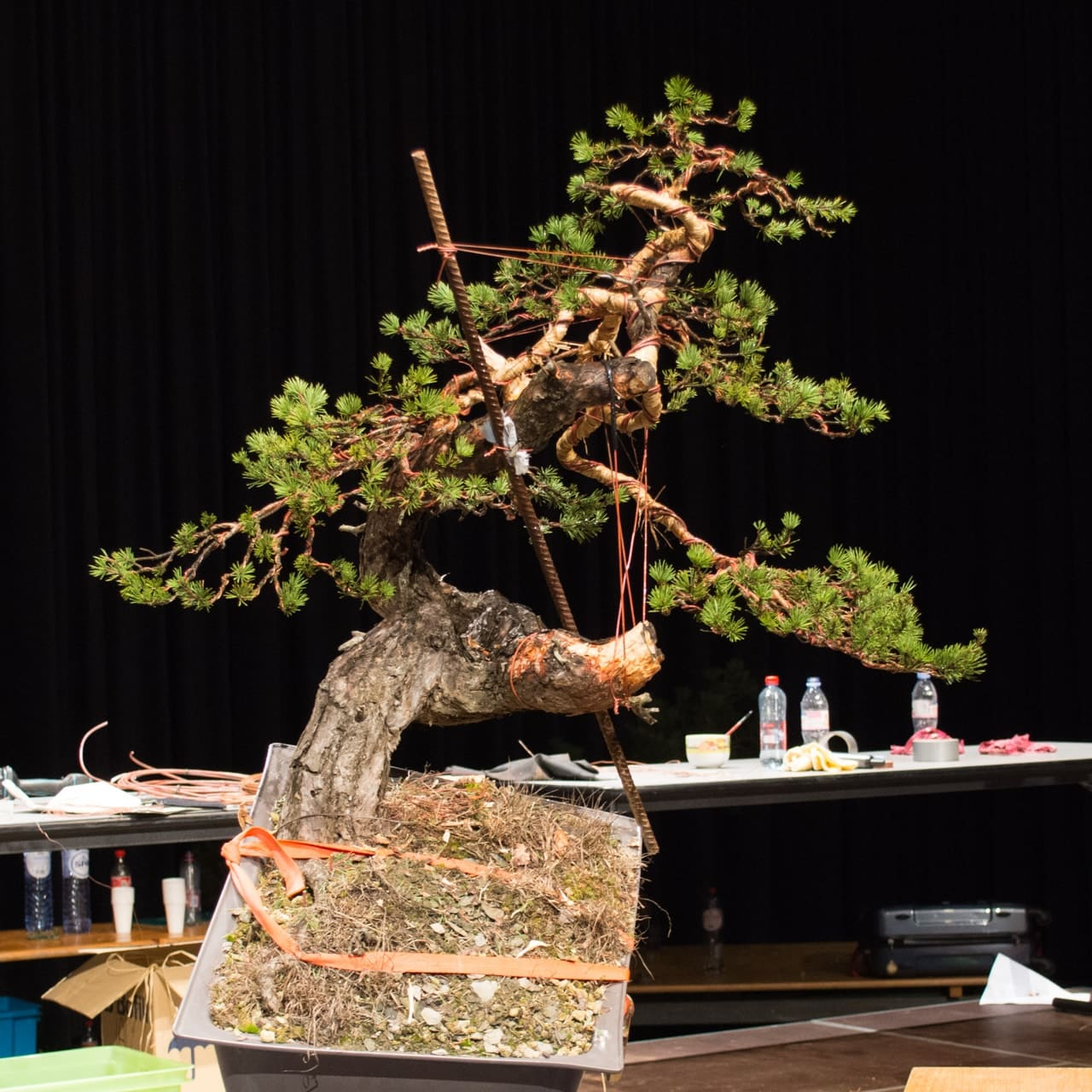 Demonstrations At The 18th Noelanders Trophy Bonsai Tonight Wiring Yew Scots Pine