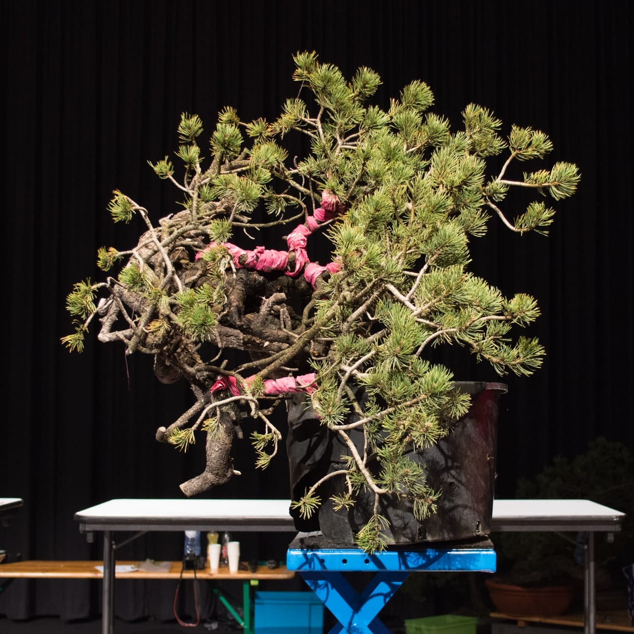 Demonstrations At The 18th Noelanders Trophy Bonsai Tonight Wiring Demo Mugo Pine