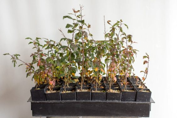 Wiring and repotting crabapple seedlings