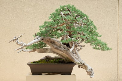 Rocky Mountain Juniper - 2 years in training