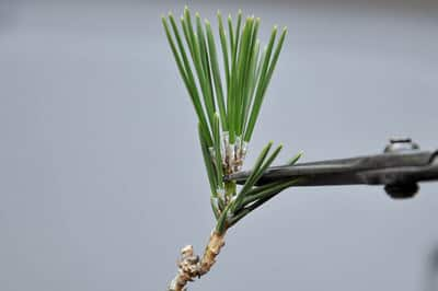 Decandling Japanese black pine