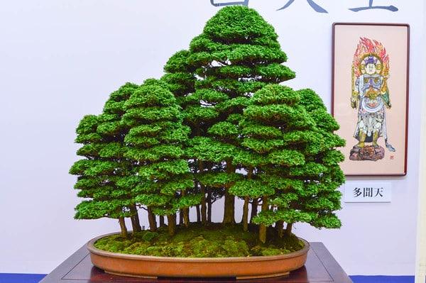 Hinoki forests and more at the 34th Taikan-ten - Bonsai Tonight