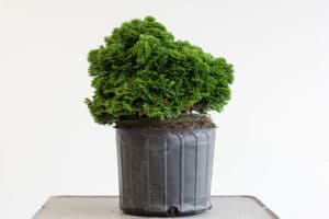 Bonsai buying guide: check the surface roots