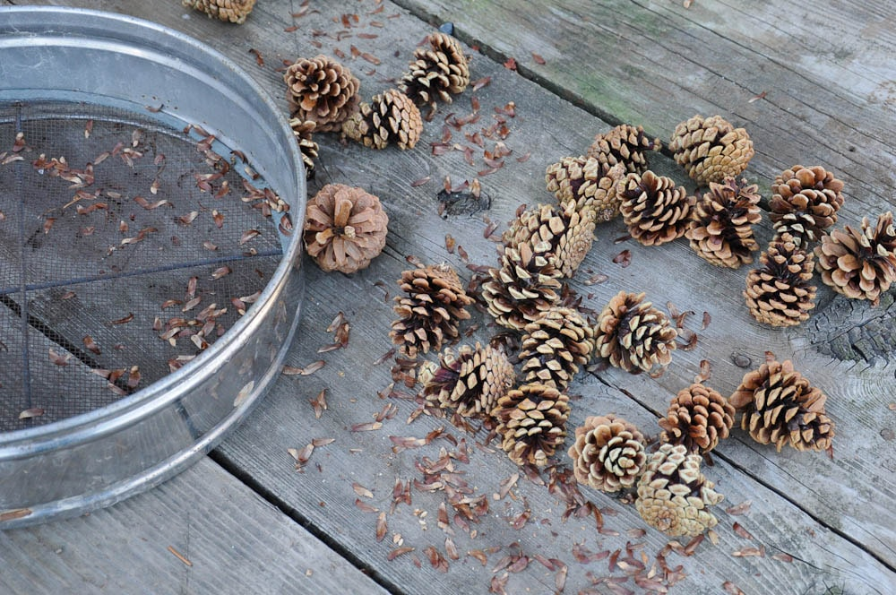 pine-seeds-and-cones