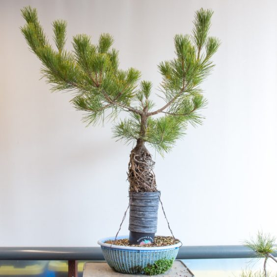Developing a new leader on exposed root pines