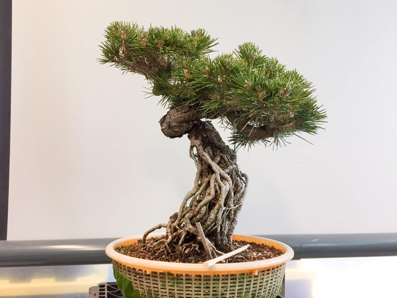 Improving Exposed Root Pine Bonsai With A Single Bend Bonsai Tonight
