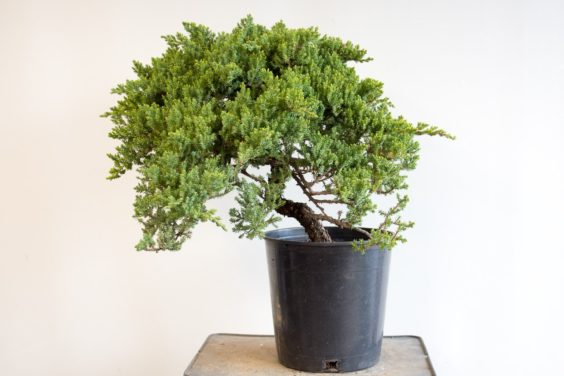 Identifying suitable material for bonsai – part 2 of 5