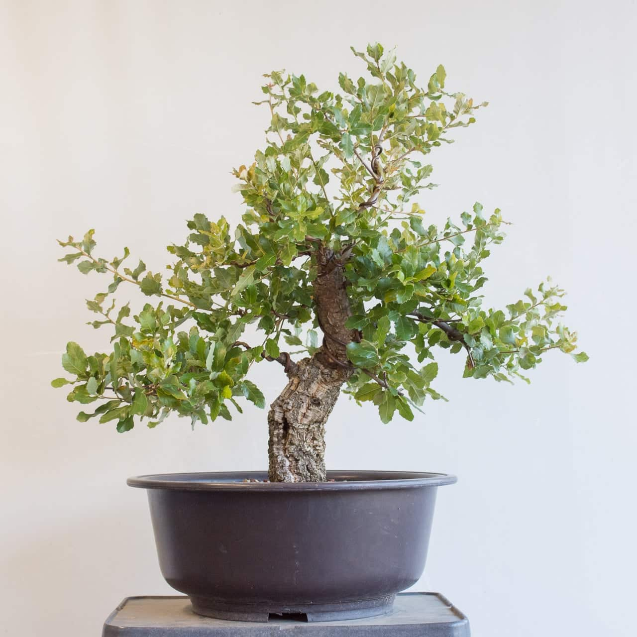 Rapid Recovery Developing A Cork Oak Bonsai Bonsai Tonight