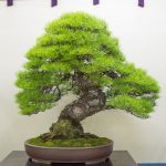 Summer break edition – some favorite trees at the World Bonsai Convention