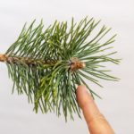 Stimulating back buds on Japanese black pine