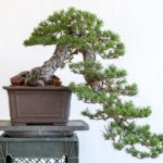 Two year progression on a cascade black pine
