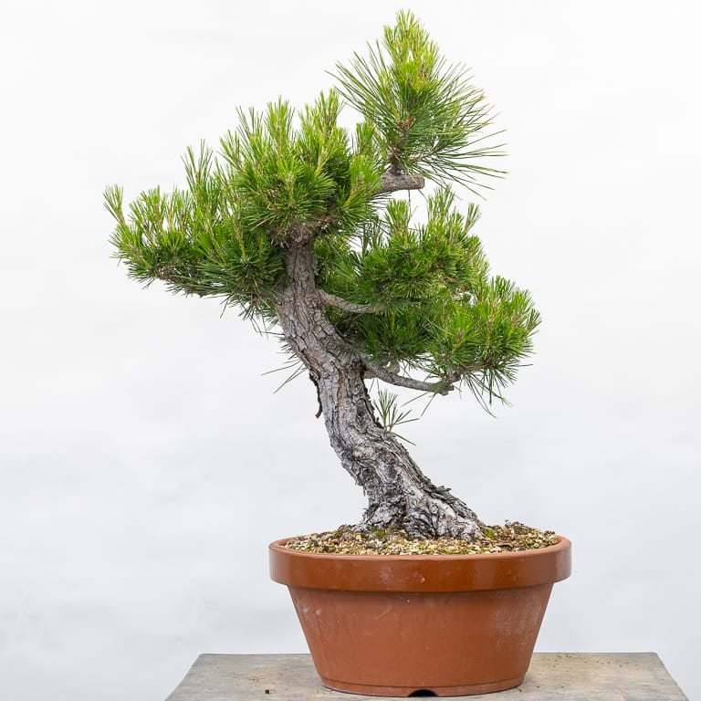 Initial Branch Refinement On Japanese Black Pine Bonsai Tonight