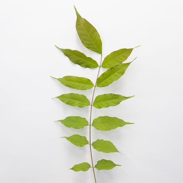 Wisteria leaf