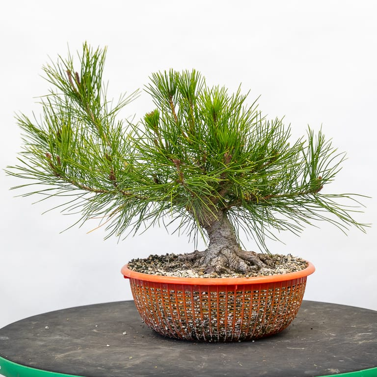 Future shohin red pine
