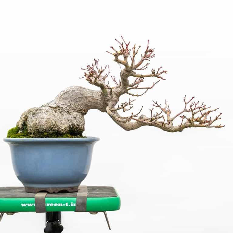 Shohin Japanese maple