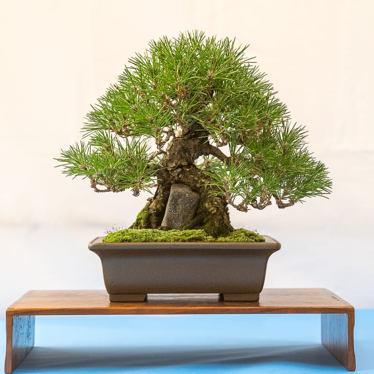 Root over rock black pine
