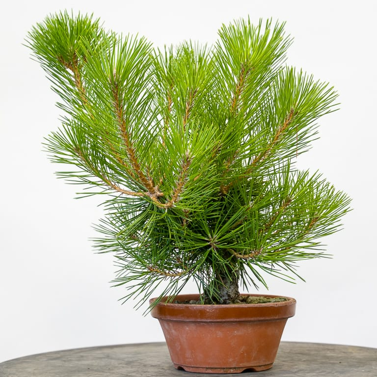 Young pine