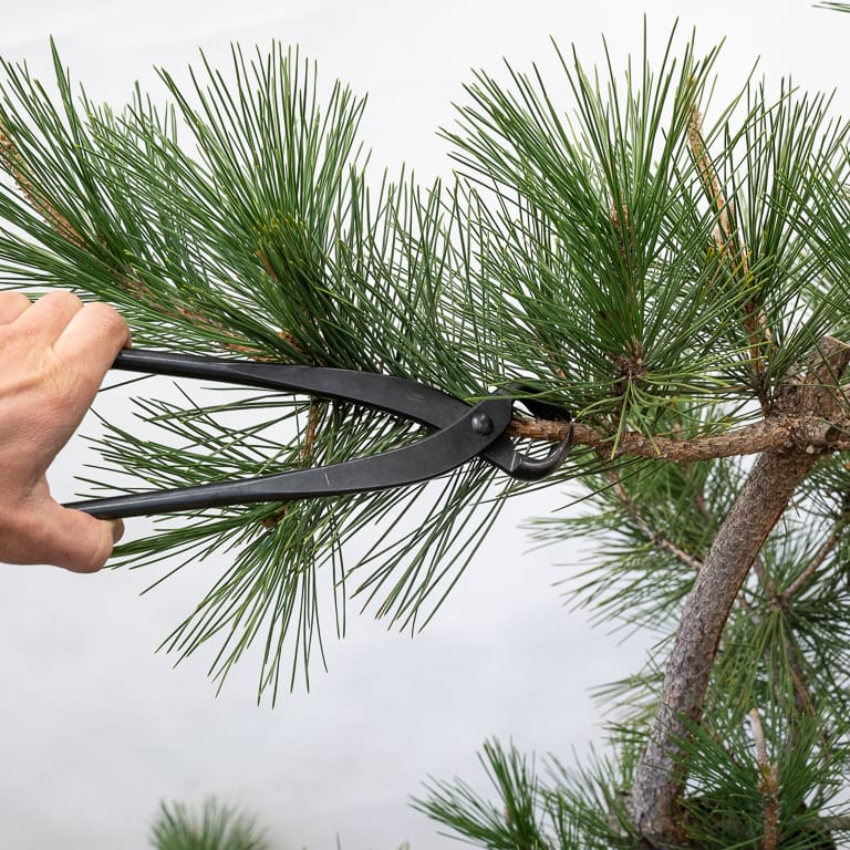 Pruning a pine