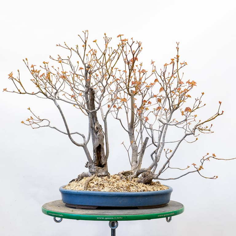 Red maple in a shallow blue oval