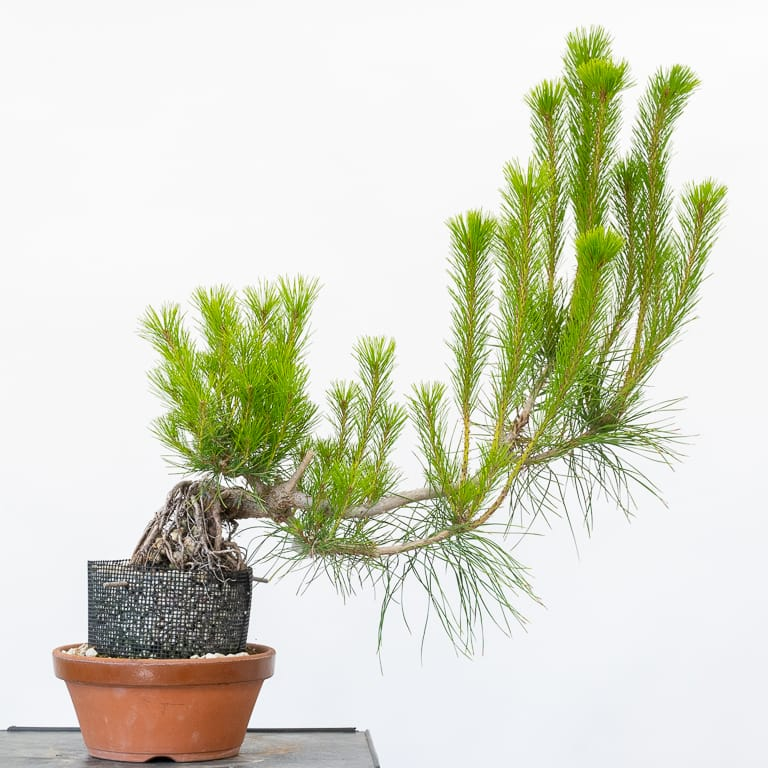 Exposed root red pine